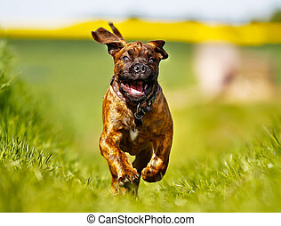 Mastiff dog - Mixed-bred mastiff dog outdoors on a sunny...