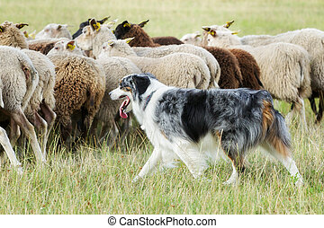 Border collie dog herding a flock of sheep - Purebred border...