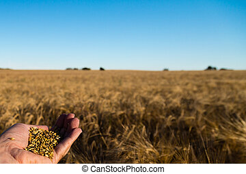 Grain harvest - Human hand holding newly harvested grain...