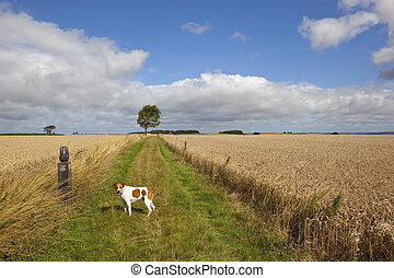 long distance footpath in summer - pet dog looks back along...