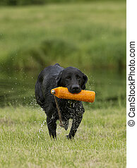 Black lab retrieving - A Black Lab retrieving a training...
