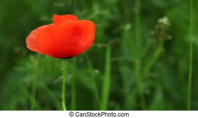 Red common poppy flower on meadow. - Coseup of red common...