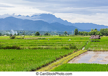 rice field with Luang Chiang Dao in Chiang Mai , Thailand