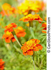 Tagetes flowers in garden, close up view