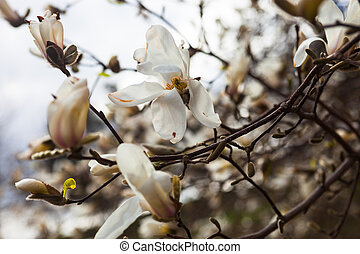 White flowers of the magnolia tree in early spring