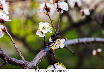 White flowers of the cherry tree and bumblebee. - White...