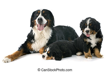 puppies and adult bernese moutain dog - pupies and adult...