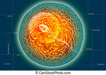 sperm and ovule - digital illustration of sperm and ovule in...