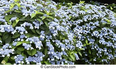A lot of hydrangea flowers - A lot of blue hydrangea flowers...