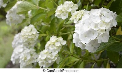 Close up white hydrangea flower in front of blurs
