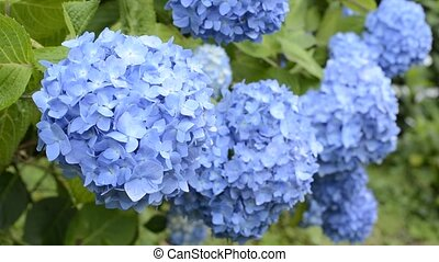 Overlapping blue hydrangea - Overlapping bright blue...