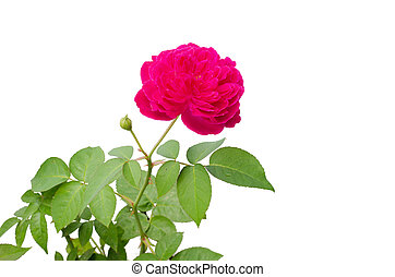Damask rose isolated on white background
