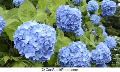 Spaced blue hydrangea - Spaced bright blue hydrangea flowers...