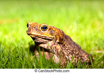 Toad - Common Toad sits on green grass