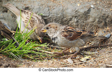 Sparrow in the grass