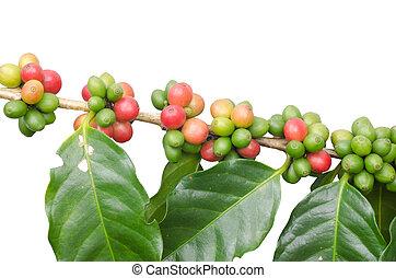 café, feijões, árvores, isolado,...