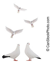 dove - free flying white dove isolated on a white background...