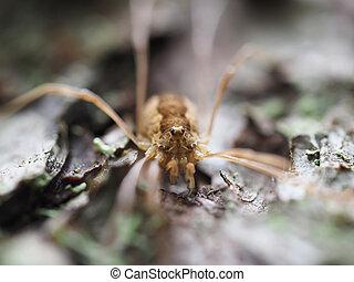 Opiliones spider