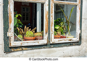 Cactii on display on a window sill with peelng wooden frame
