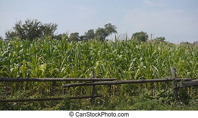 Field with green maize