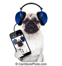 dog music - pug dog listening to music from smartphone or...