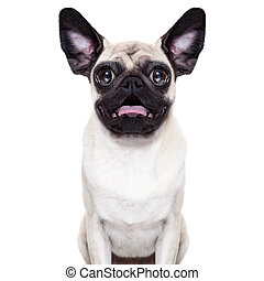 Surprised crazy dog - silly crazy pug dog with very big eyes...