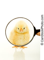 Chicken looking through a magnifier - Chicken staring at you...