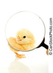 Chicken under magnifier - Fluffy yellow chicken seen through...