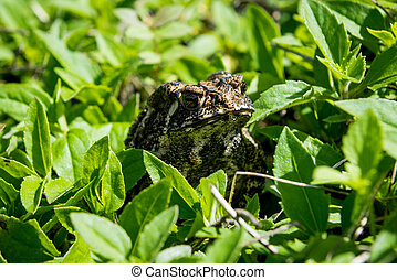 Toad in the green grass