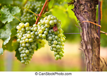 Branch of white wine grapes - Branch of gree grapes on vine...