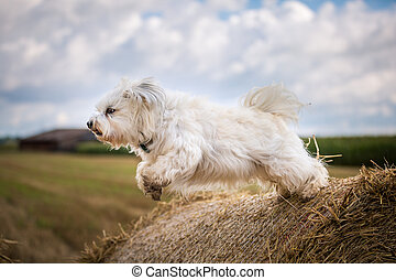 Dog when jumping - A small white dog jumps on a straw bale