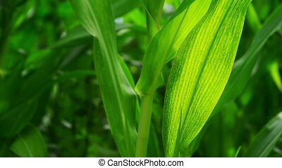 Green Corn Maize Plants