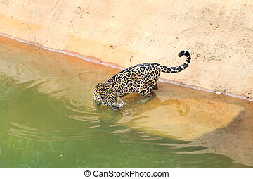 jaguar tiger cat resting and swimming in the zoo