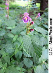 Common Hemp-nettle (Galeopsis tetrahit) in the meadow.