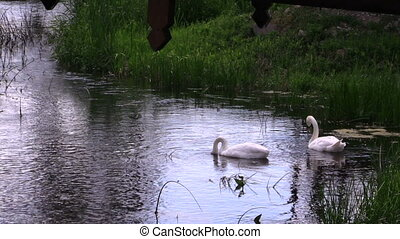 swan pair in river - Pair of swan birds looking for food in...