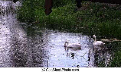 swan pair in river - Pair of swan birds looking for food in...