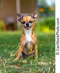 Doggie Chihuahua - Shorthair red chihuahua sitting at the...