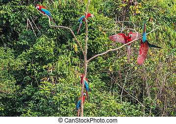 flock of macaws standing in a three in the peruvian Amazon...