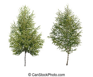 two birch tree isolated
