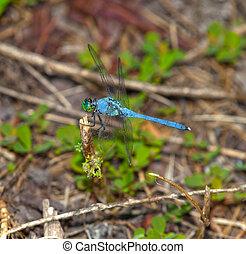 Blue dragonfly that is on a stick near the ground