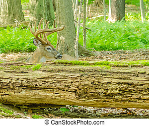 Whitetail Deer Buck In Velvet bedded down in the woods.