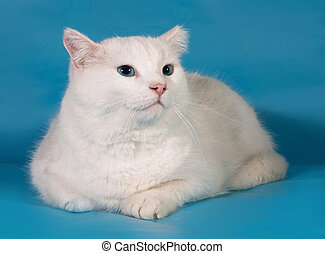 White fat cat on blue background