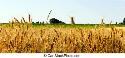 wheat field - landscape wheat field