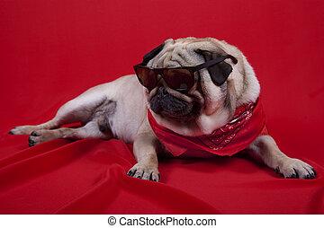 english bulldog - cute english bulldog