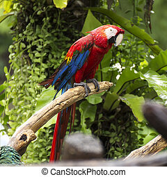 Parrots: scarlet macaw on the tree