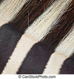 Common Zebra skin - Animal skin, Common Zebra or Burchells...
