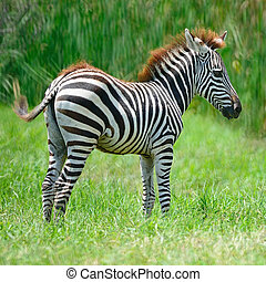 Common Zebra or Burchell's Zebra (Equus burchelli)