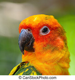 Sun Conure - Colorful yellow parrot, Sun Conure (Aratinga...