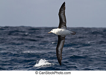 black-browed albatross flying over the waves of the Atlantic