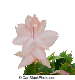 Christmas Cactus (schlumbergera) isolated on white...